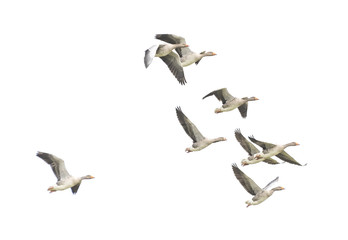 Wild Goose, Greylag Goose. The geese are migrating. Flying geese..