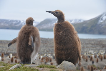 Two baby penguins in South Georgia