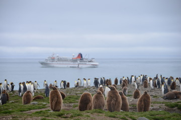 King Penguin with cruise ship