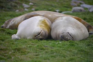 Sleeping lazy seals