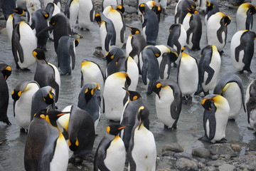 King Penguin large colonies