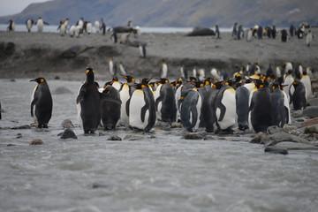 King Penguin in river