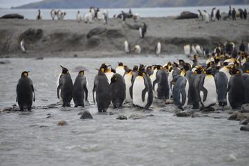 King Penguin river