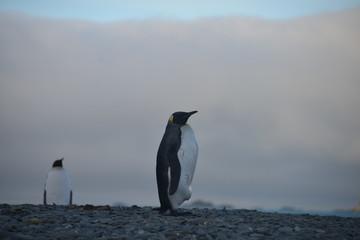 King Penguin view