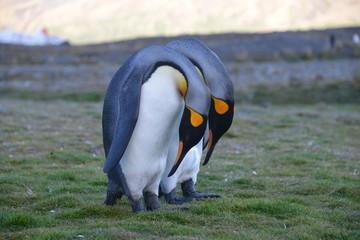 Two King Penguin