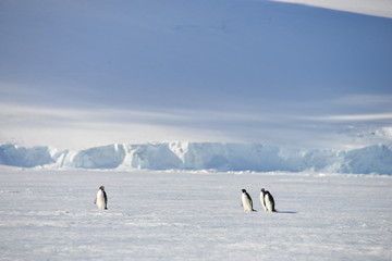 Antarctica pinguins walking on ice