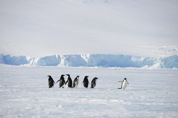 Antarctica animals pinguin
