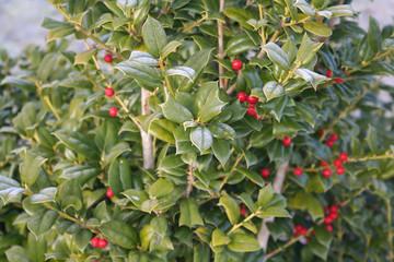 Holly bush with red berries in winter. Ilex aquifolium