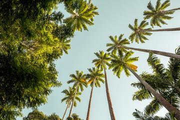 Palm trees in Botanical Garden in Rio de Janeiro city, Brazil