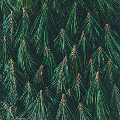 Creative pattern made of pine tree branches. Nature background. Flat lay.