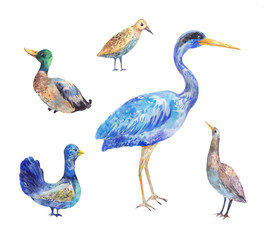 Set of birds living in a swamp. Heron, bittern, black grouse, drake,  wader. Watercolor illustration