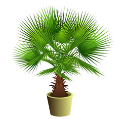 Fan palm tree (Sabal bermudana, Bermuda palmetto) in pot. Hand drawn vector illustration on white background.