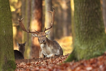 Fallow deer Dama dama. Photographed in the Czech Republic. It is spread throughout Europe. The wild nature of the Czech Republic. Beautiful animal photo. Beautiful mammal. The animal has a large antle