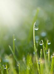 Gras mit Tautropfen