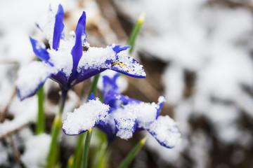 Iris reticulata (Iridodictyum)
