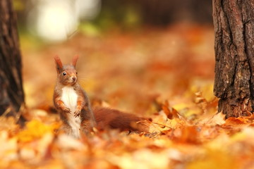 The squirrel was photographed in the Czech Republic. Squirrel is a medium-sized rodent. Inhabiting a wide territory ranging from Western Europe to Eastern Asia.Animal in the wild. Beautiful picture of