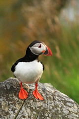 Puffin. Puffins are any of three small species of alcids in the bird genus Fratercula with a brightly coloured beak during the breeding season.