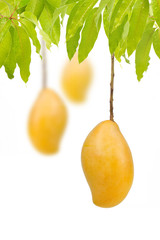 Ripe mangoes hanging on trees with isolated white background, Vertical image