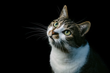 beautiful portrait of a house cat on a black background