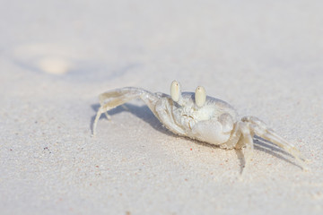 Horned Ghost Crab, Ocypode ceratophthalmus on a snow white beach sand with copy space.