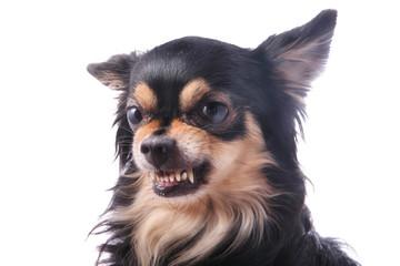 Evil dog Chihuahua growls and shows teeth