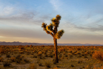 Desert Sunset Joshua Trees