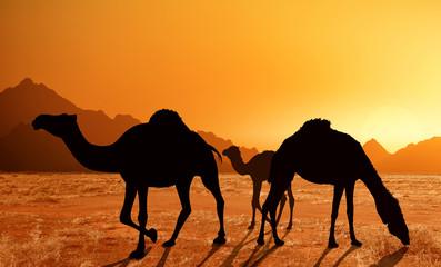 family of dromedaries in the desert