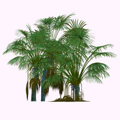 Coco de Mer Tree - This is a palm endemic to the islands of Praslin and Curieuse in the Seychelles and is the sole member of the genus Laodicea.