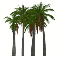 Ravenea musicalis Trees - This tree is a species of flowering plant in the Arecaceae family found only in Madagascar.