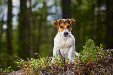 Jack Russell in the open air