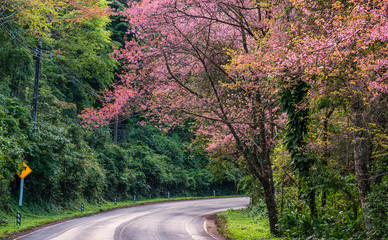 Pink Cherry blossom on road in the morning at north of Thailand, Chiang Mai, Thailand.