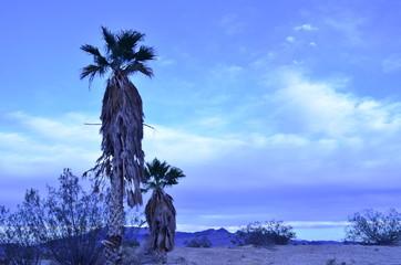 palm trees early morning landscape Pahrump, Nevada, USA