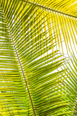 Palm tree leaves tropical plant green foliage against natural summer or spring sky for Plam Sunday religious holiday background