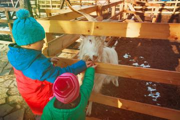 little boy and girl feeding goat at farm