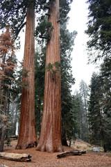 Sequoia 25