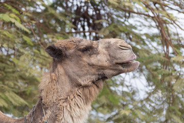 Head  of camel against the background of green tree branches