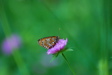 Melitaea arduinna, fritillary butterfly on wild flower. Colorful butterfly in nature