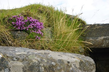Blooming heather amid grass and stones in rural Scotland