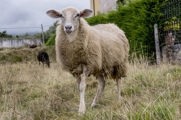 Portrait of a sheep grazing in the field