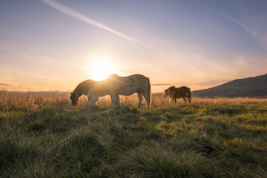 Icelandic horses grazing at sunset