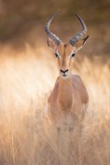 Poster Antelope Impala