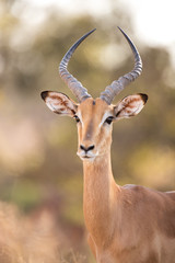 Stores photo Antilope Impala