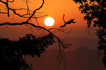 Silhouette monkey jump on the leafless trees and red sky sunset