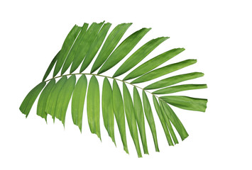 Tropical green leaf palm plant isolated on white background, clipping path included