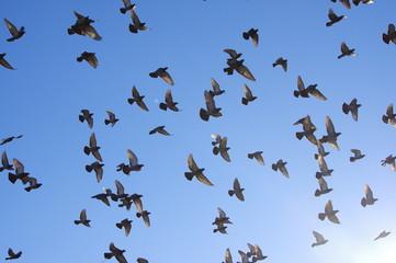 飛翔する鳩の群れ