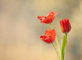 Leinwandbilder - Tulipany czerwone