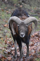 Closeup of a brown ram in a forest in Germany
