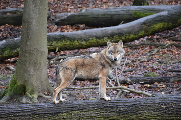 Closeup of a wild wolf on a tree trunk in a forest in Germany