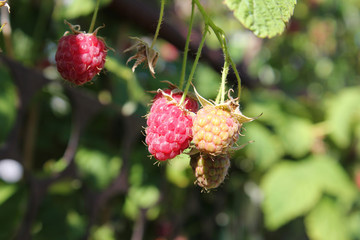 Berry raspberries in the garden. A new harvest of berries. Raspberry unfertile.