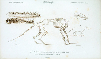 Illustration of the skeleton of the animal.
